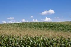 Campi di cereale Immagini Stock Libere da Diritti