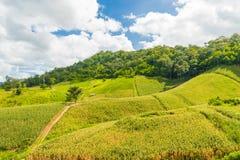 Campi di cereale verde Immagine Stock