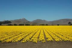 Campi di colore giallo Immagine Stock