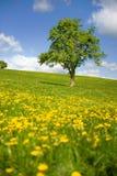 Campi di erba con il singolo albero Fotografia Stock