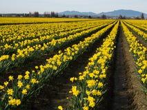 Campi di fioritura del narciso nello Stato del Washington fotografia stock libera da diritti