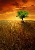 campi di frumento con l'albero Fotografia Stock