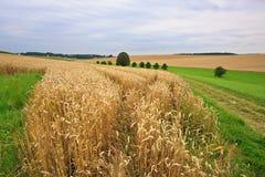 Campi di frumento in estate Fotografia Stock