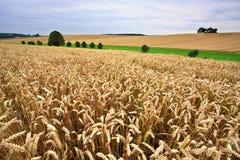 Campi di frumento in estate Immagine Stock Libera da Diritti