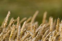 Campi di frumento in estate fotografia stock libera da diritti