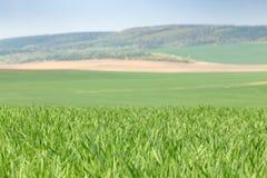 Campi di frumento verdi Immagine Stock Libera da Diritti