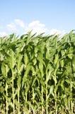Campi di grano immagine stock