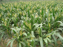 Campi di grano Immagini Stock