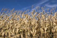 Campi di grano Fotografia Stock