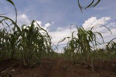 Campi di grano Fotografia Stock Libera da Diritti