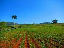Campi di grano agricoli cubani Immagini Stock
