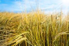 Campi di grano al sole Fotografia Stock Libera da Diritti