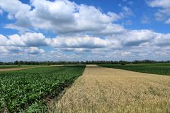 Campi di grano e del mais sotto il cielo della nuvola Immagine Stock
