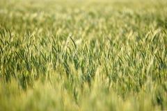 Campi di grano di estate Campi di grano di estate Fotografie Stock