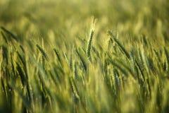 Campi di grano di estate Campi di grano di estate Fotografia Stock