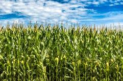 Campi di grano Forvever Fotografie Stock