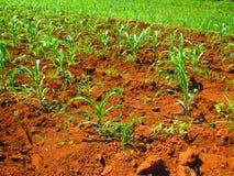 Campi di grano di Gricultural Fotografia Stock