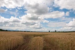 Campi di grano nella campagna britannica Immagini Stock Libere da Diritti