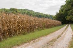 Campi di grano pronti per il raccolto Fotografie Stock Libere da Diritti