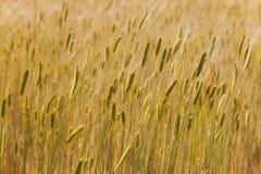 Campi di grano in Provenza Immagine Stock Libera da Diritti