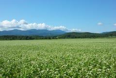 Campi di grano saraceno Fotografia Stock Libera da Diritti