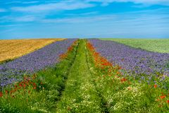 Campi di grano scenici con i confini dei fiori blu e rossi fotografia stock