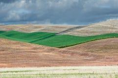 Campi di grano verdi di rotolamento Immagine Stock