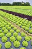 Campi di insalata verde e rossa 免版税库存图片