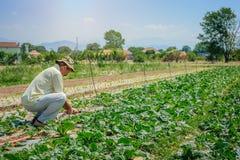 Campi di irrigazione dell'agricoltore di cavolo Immagine Stock Libera da Diritti