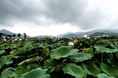 Campi di Lotus Fotografie Stock Libere da Diritti