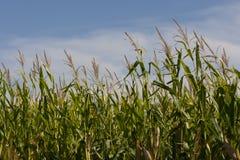 Campi di mais dello Iowa Fotografie Stock
