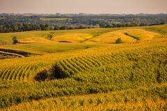 Campi di oro nello stato del cereale dello Iowa immagini stock libere da diritti