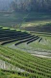 Campi di risaia del Bali Fotografia Stock
