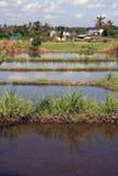 Campi di risaia di balinese Fotografia Stock Libera da Diritti