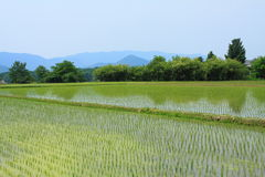 Campi di risaia in Gyeongju Fotografie Stock Libere da Diritti
