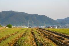Campi di risaia nell'area urbana della Corea del Sud con la città ed il mou Immagine Stock