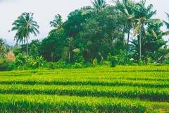 Campi di riso Fotografie Stock