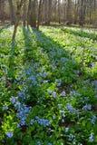 Campi di Virginia Bluebells in primavera Immagine Stock