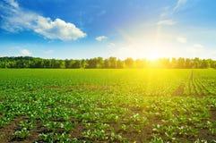 Campi e cielo blu verdi della barbabietola Immagini Stock