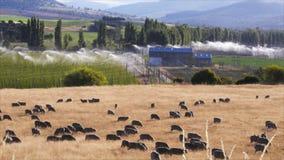 Campi e pecore di luppolo stock footage