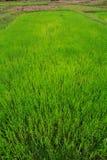 Campi e piantine del riso Fotografie Stock