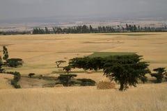Campi ed agricoltura di grano in Etiopia Immagini Stock