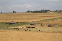 Campi ed agricoltura di grano in Etiopia Fotografia Stock
