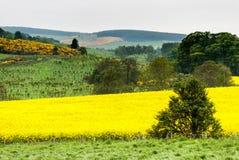 Campi gialli della Scozia Immagini Stock
