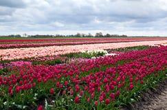 Campi olandesi del tulipano fotografia stock libera da diritti