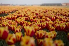 Campi olandesi del tulipano con i fiori immagine stock