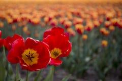 Campi olandesi del tulipano con i fiori fotografia stock