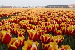 Campi olandesi del tulipano con i fiori fotografia stock libera da diritti