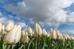Campi olandesi della lampadina con i tulipani famosi Fotografia Stock Libera da Diritti