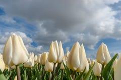Campi olandesi della lampadina con i tulipani famosi Fotografia Stock